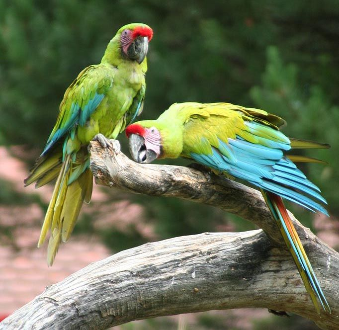 Great Green, Buffon's or Great Military Macaw - C. & S. America
