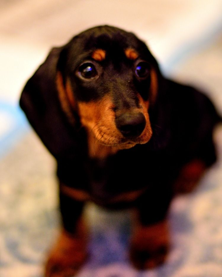 Pin By Douglas Clifford On Dachshunds Dachshund Dogs Animals
