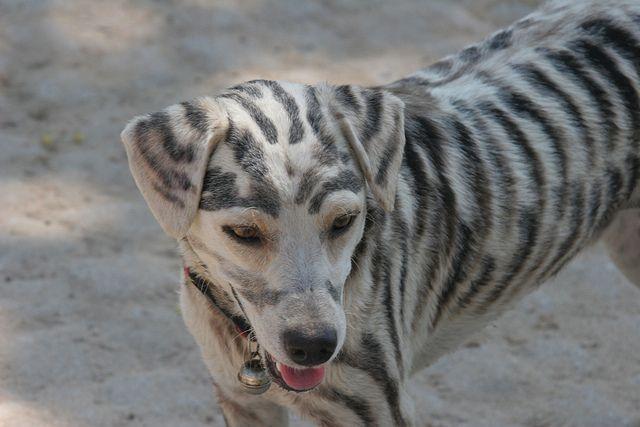 Tiger-Stripe