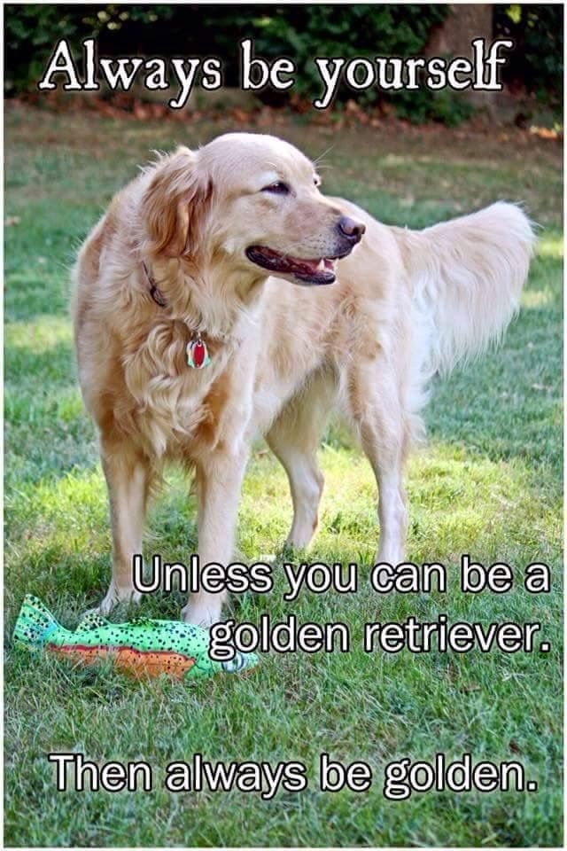 Be A Golden Retriever With Images Golden Retriever Dogs