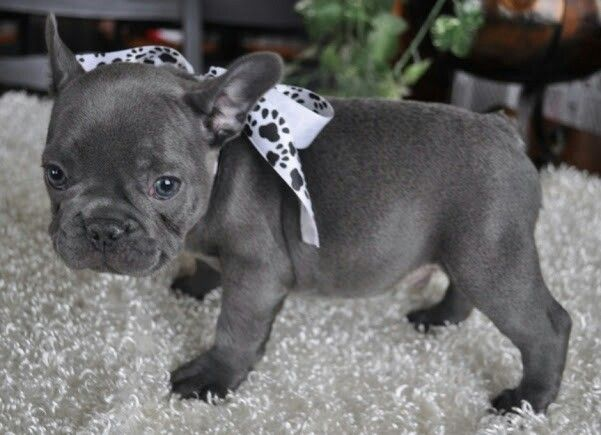Pin By Marique Brewis On Cuties With Images French Bulldog