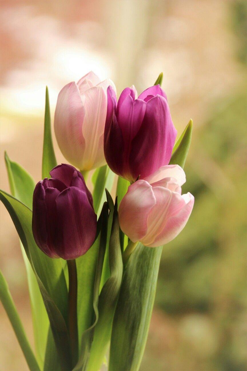 Pin De Dana Al Habal En Immagini Della Natura Flores Bonitas Tulipanes Rosas Tulipanes