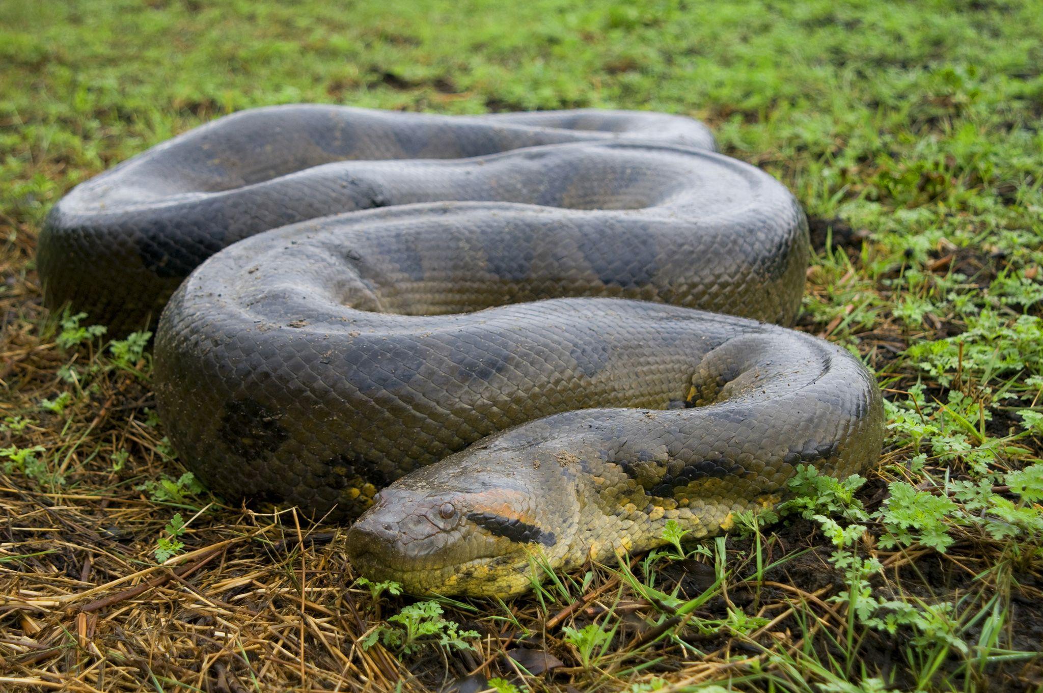 Green Anaconda With Images Anaconda Snake Green Anaconda Snake