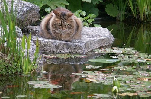 Too cute i love watching them watch fish hehe cat for Koi pond maine coon cattery