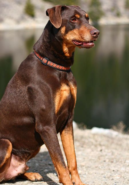 Harley The Doberman Mix Animals And Insects Pinterest Doberman