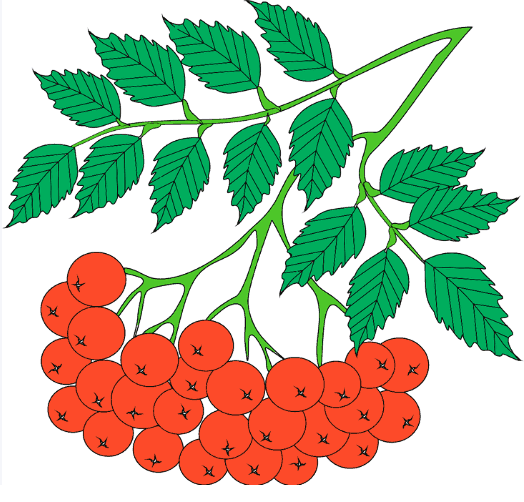 Картинки карандашом гроздь рябины