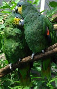 orange winged amazon parrots.