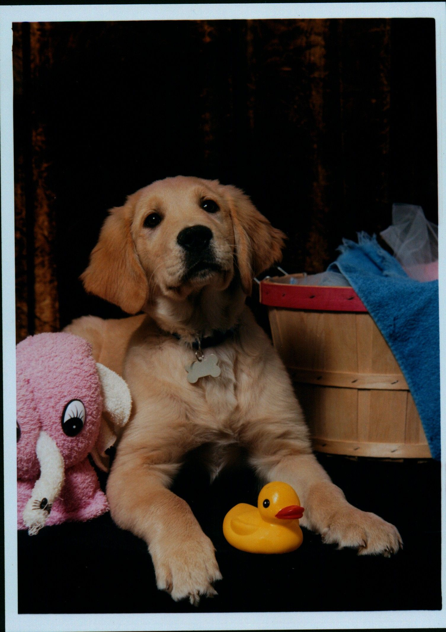 My Golden Retriever puppy, Maverick!! (With images