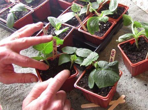 semis en int rieur le potager se pr pare d s f vrier jardinage potager jardinage et semis. Black Bedroom Furniture Sets. Home Design Ideas