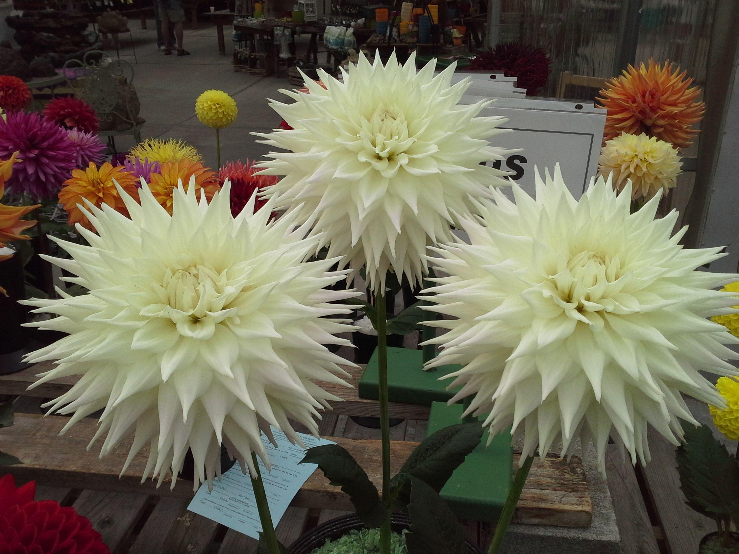 Clearview Edie Dahlia Flowers Pastel
