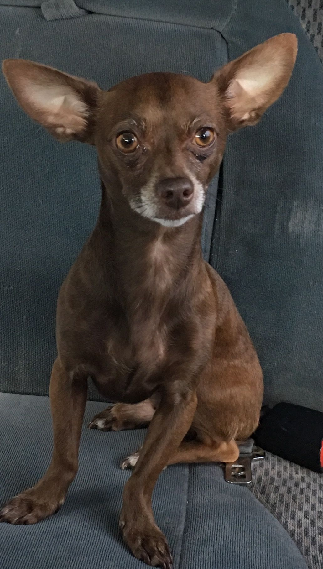 Chiweenie Dog For Adoption In Vancouver Wa Adn 536029 On