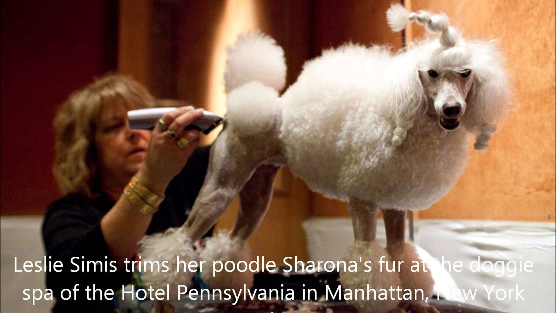 I M Incredible The Poodle Dogs Poodle Taking New York
