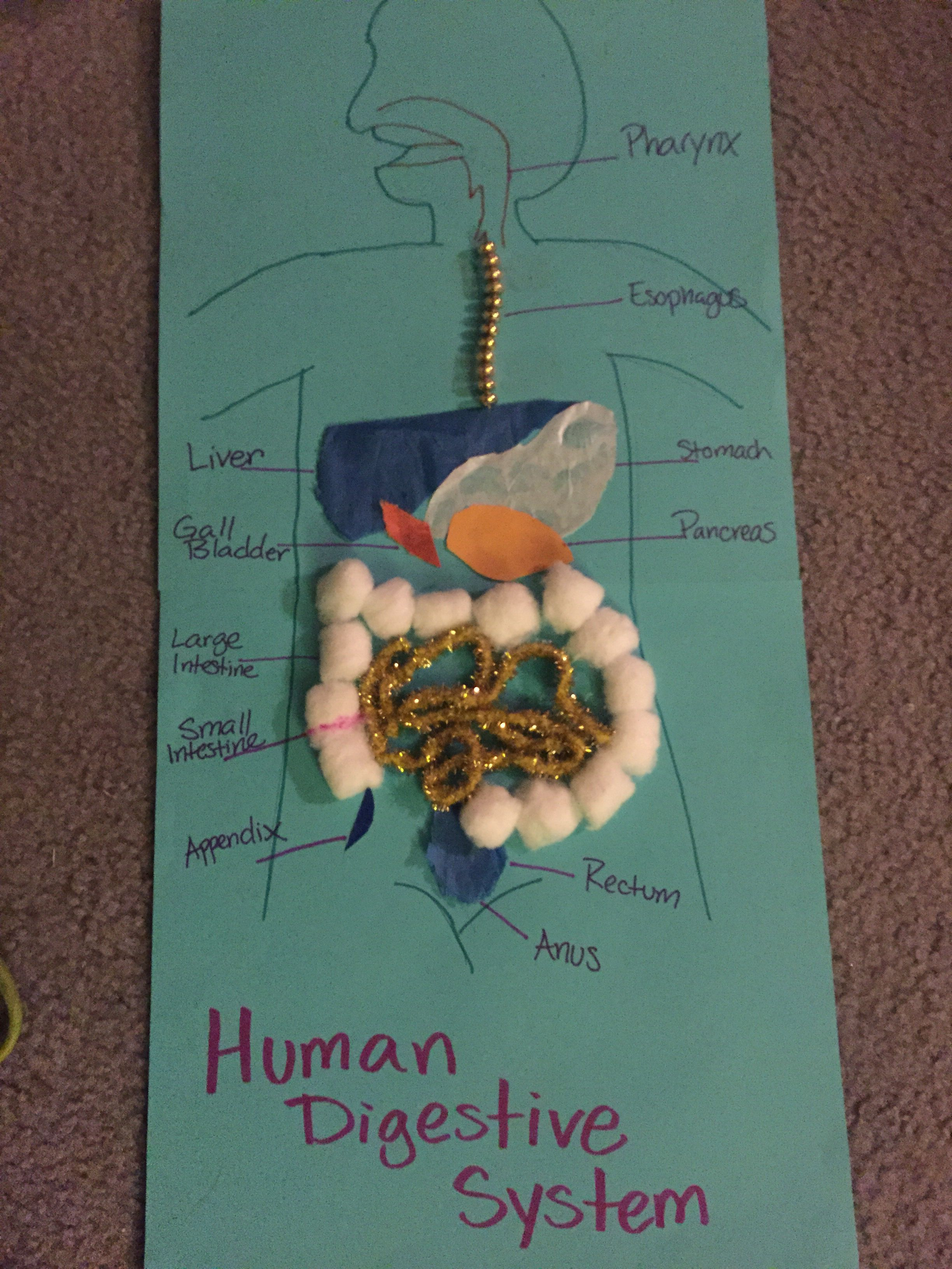 Human Digestive System Created By Random Stuff I Had