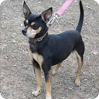 Indiana Pa Chihuahua Manchester Terrier Mix Meet Chico A Dog For Adoption Pets Dog Adoption Chihuahua
