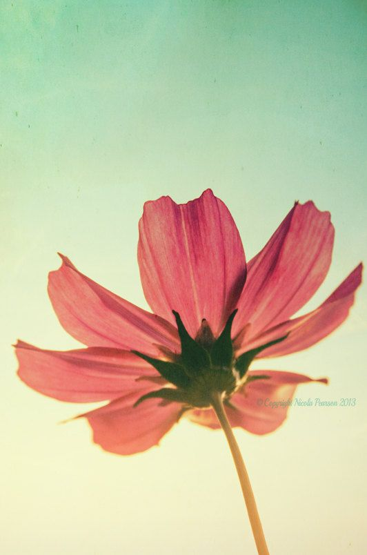 flower cosmos photo print  whimsical fine art by secretgardentwo, £9.70