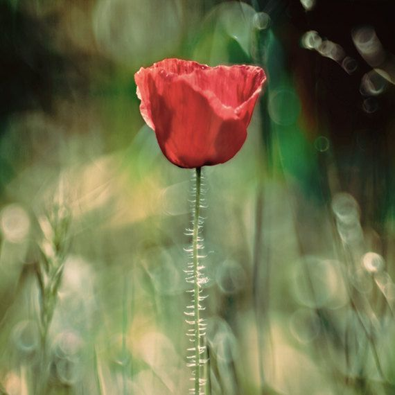 red poppy photography wall art red gold summer by SeaZephyr, $22.00