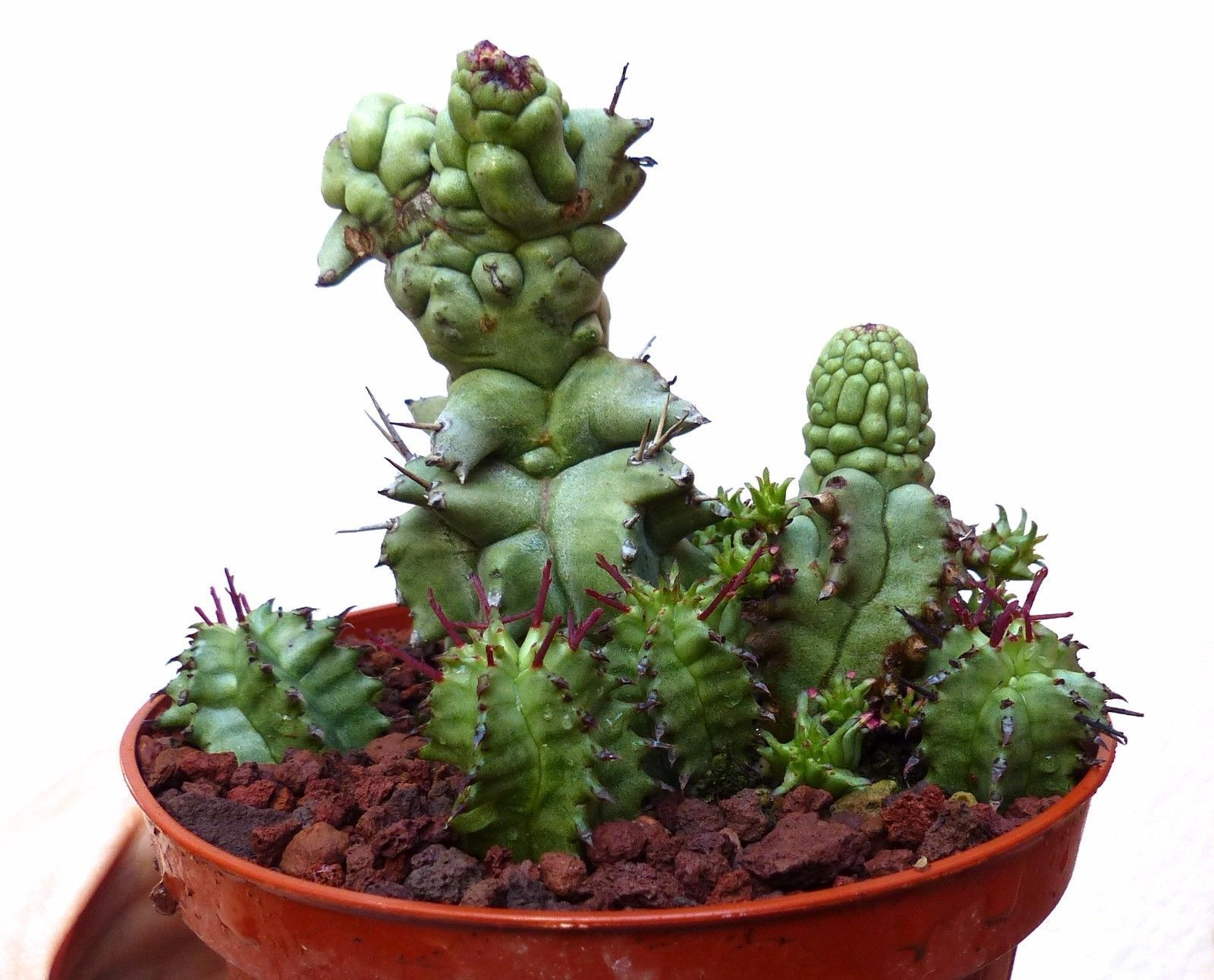 cluster EUPHORBIA HORRIDA monstruosus form KIKKO (chimera) no crested obesa 27R | Garden & Patio, Plants, Seeds & Bulbs, Plants & Seedlings | eBay!