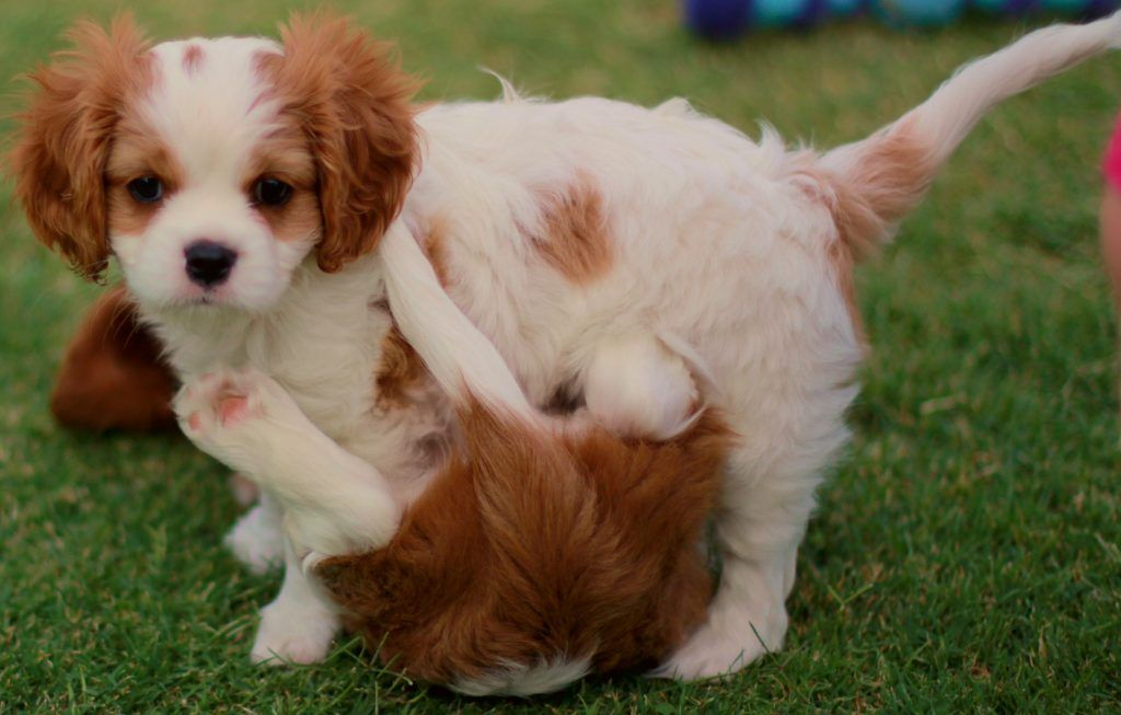Cavalier King Charles Spaniel - Graceful and Affectionate  64ba6e1447