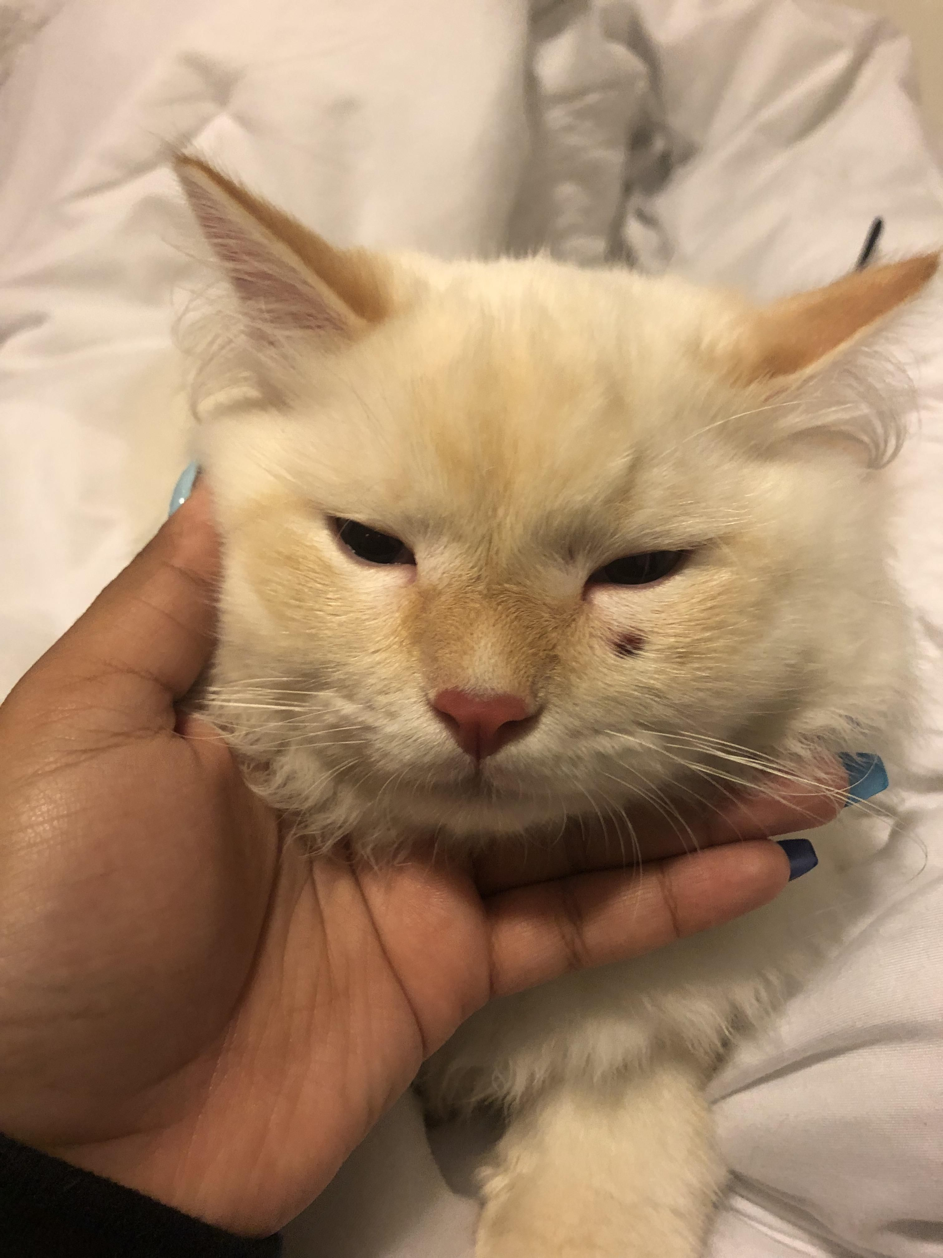 My Cat Got Hurt After Getting Neutered The Vet Claims He Injured Himself After Being Woken From Sedation Should I Believe Him Cats Kitten Pets