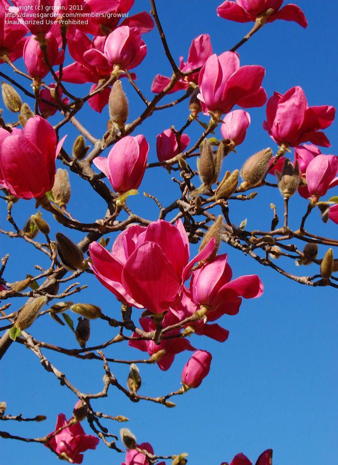 Magnolia Vulcan Cold Hardy For Partial Shade Magnolia
