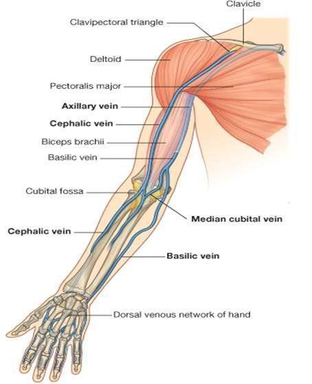 Image Result For Cephalic Vein Asr Basic Anatomy Physiology