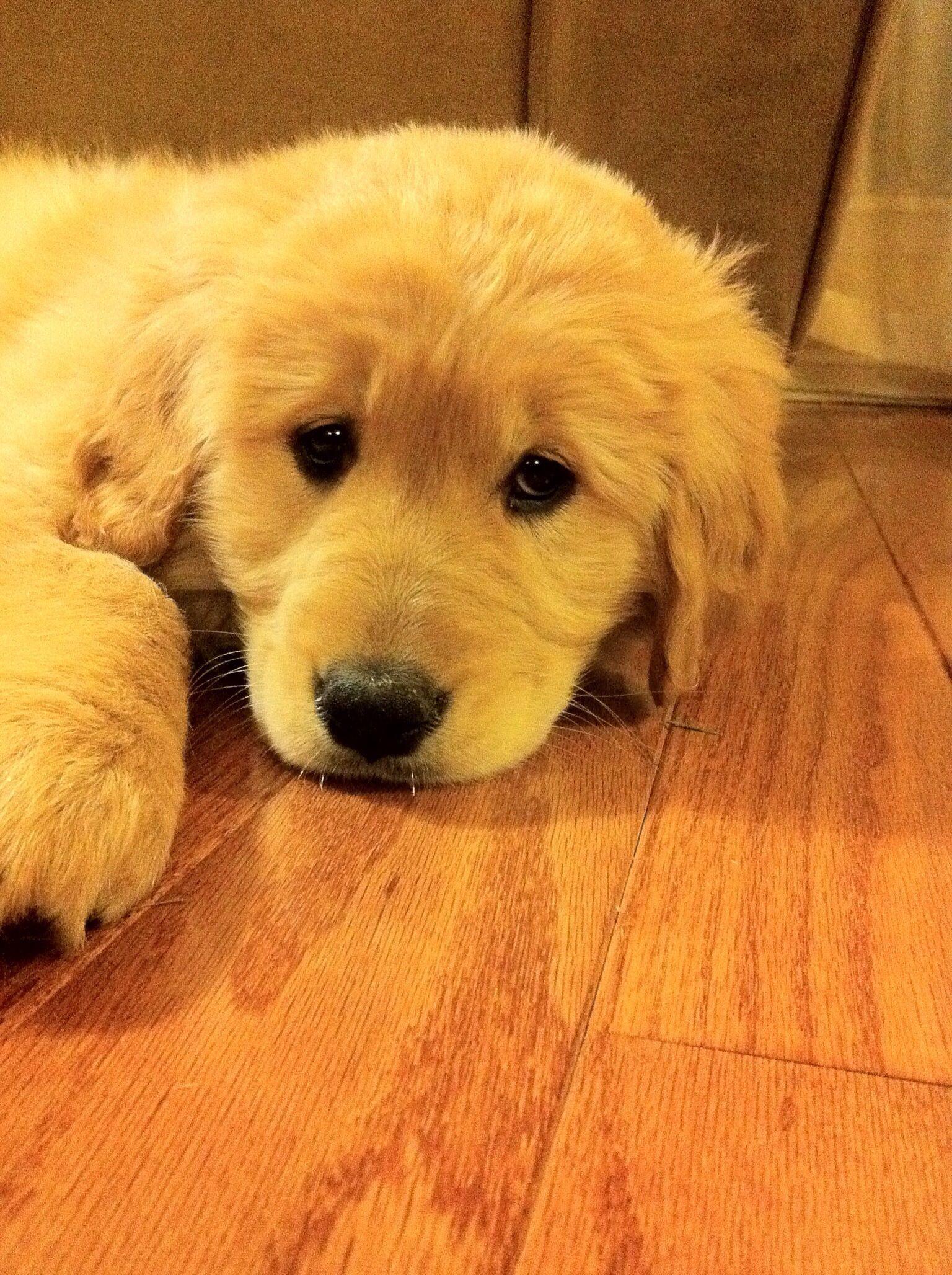 Puppy golden