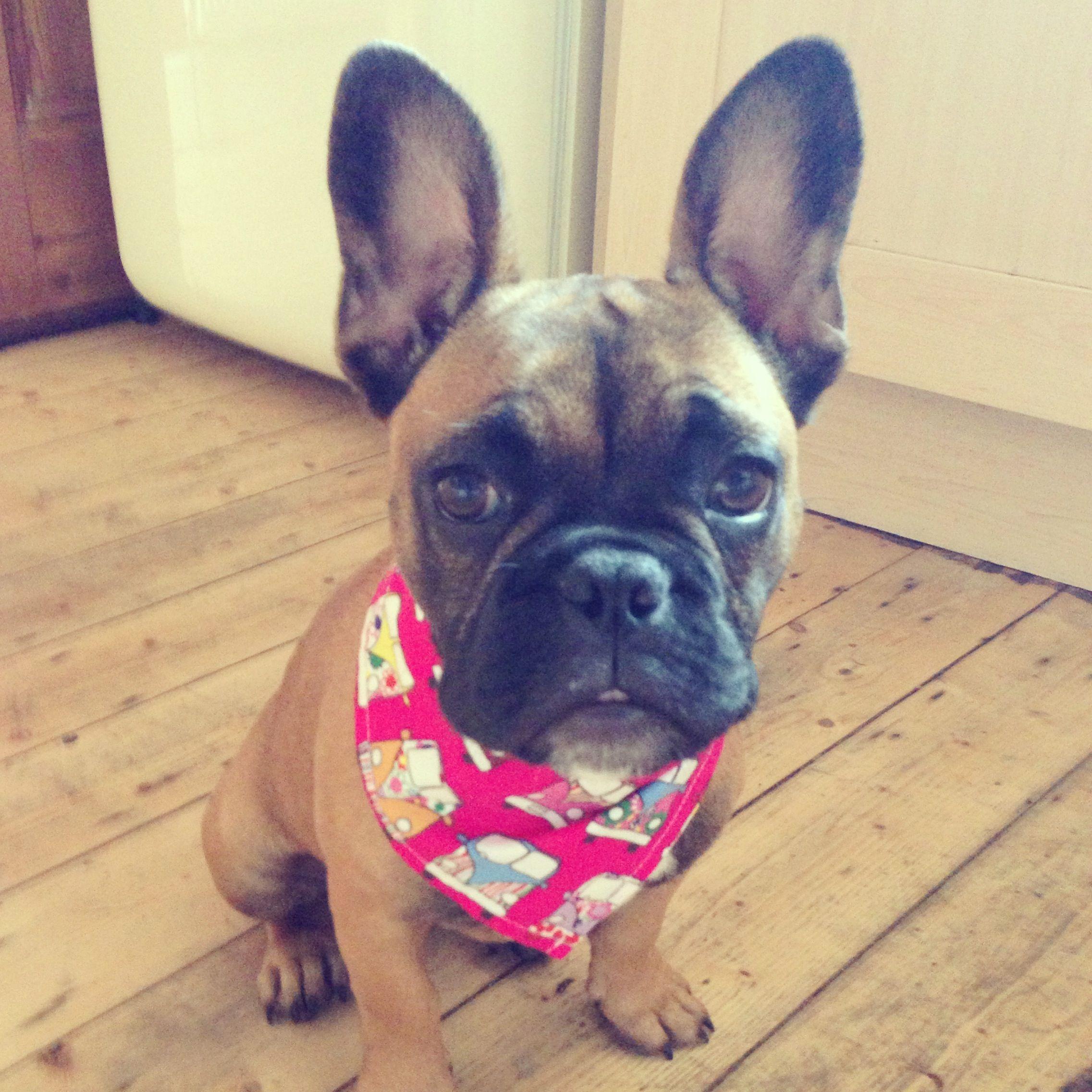6 Month Old Fawn French Bulldog Puppy Fawn French Bulldog