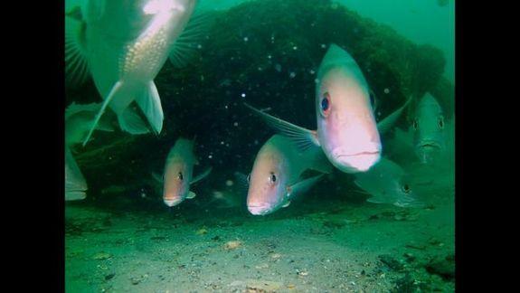 Un bosque submarino de peces, anémonas de mar y crustáceos se esconde debajo de la superficie de la costa de Alabama.  criaturas marinas viven en medio de los enormes troncos de árboles de ciprés que vivieron hace 50.000 años.