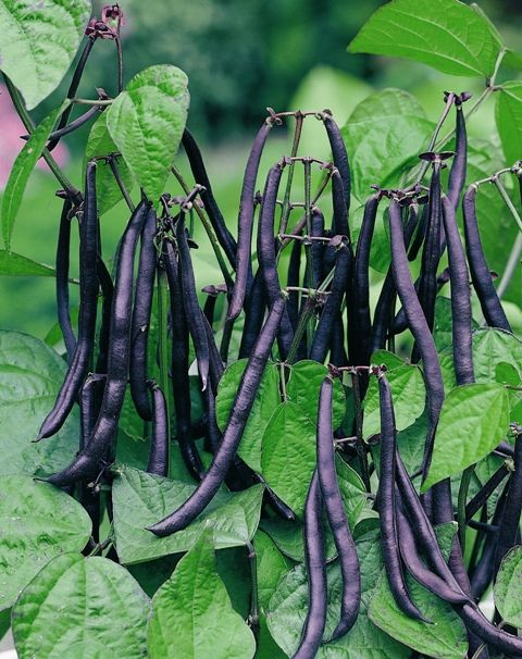 Dwarf French Bean Purple Teepee Produces All It S Pods 640 x 480