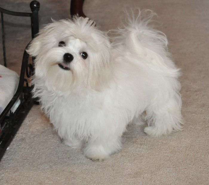 Maltese Adult Dogs Akc Maltese Puppies For Sale Maltese Breeder