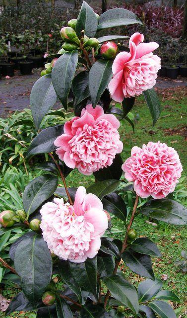 Posts About Camellia Fairy Blush On Tikorangi The Jury Garden Australian Flowers Bulb Flowers Flowers