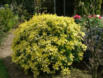 Choisya Ternata Sundance Lich Evergreen Shrubs Backyard