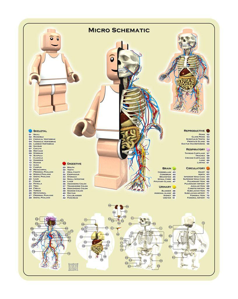 Gummy Bear Anatomy Schematic - Block And Schematic Diagrams •