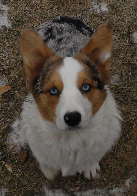 Meet Willa Half Aussie Half Corgi With Images Puppies Corgi Pets