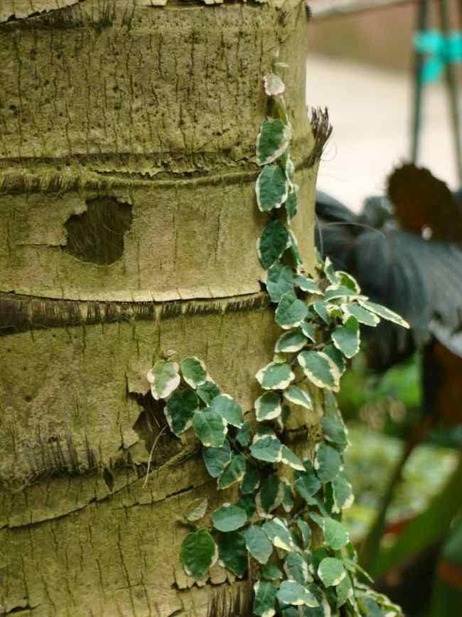 Cómo cultivar Ficus o enamorada del muro #jardin #hogar #plantas ...