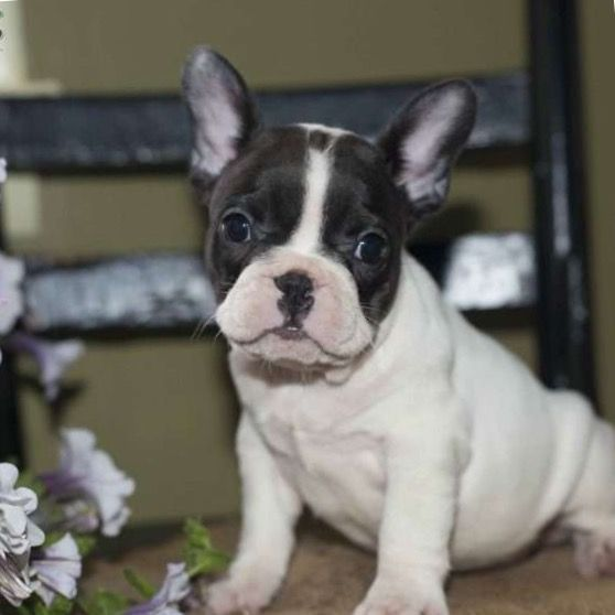 French Bulldog Puppy For Sale In Houston Tx Adn 33098 On