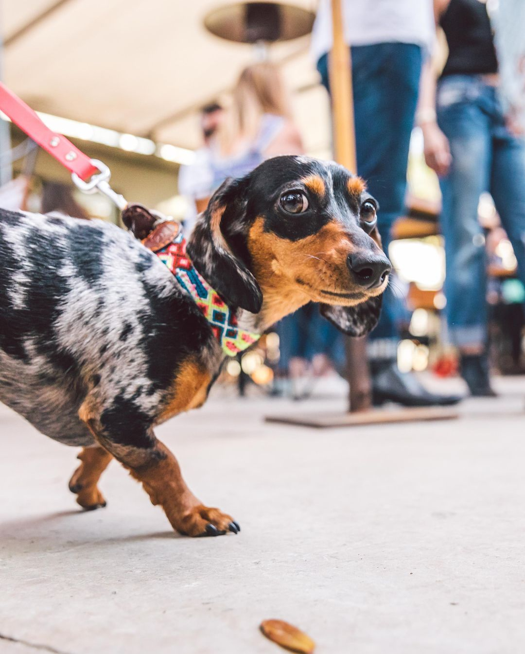 Reese The 1 5yr Old Dachshund Working On Her Runway Modeling
