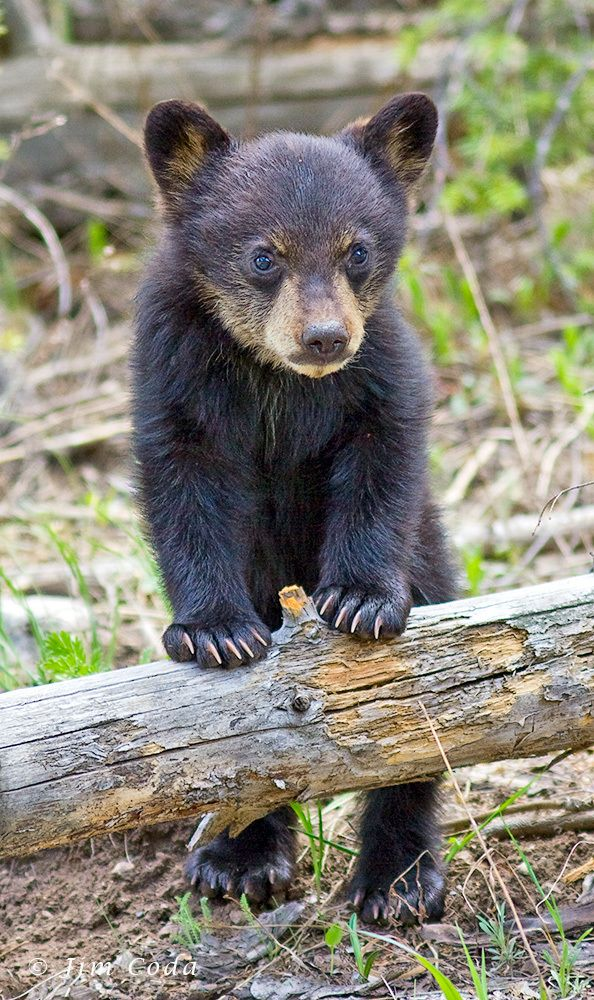 Black Bear Spring Cub Yellowstone National Park Wyoming