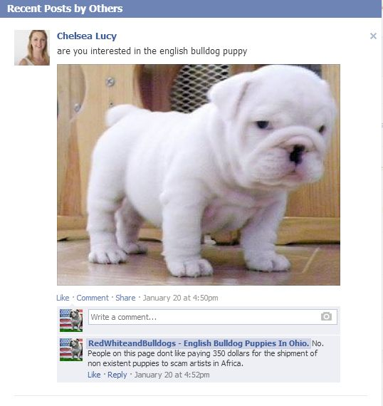 Facebook Puppy Scams Rising English Bulldog Puppies Bulldog