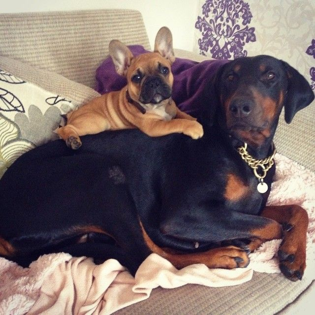 French Bulldog Puppy And Doberman Are Besties Puppy Time Cute
