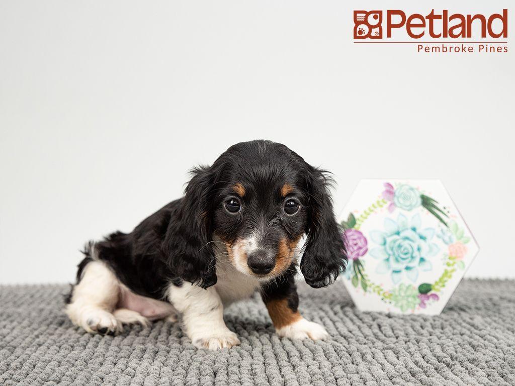 Dachshund Puppies For Sale Gainesville Fl Ideas