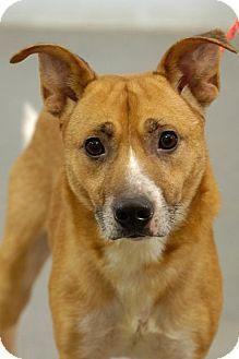 Labrador Retriever Collie Mix Dog For Adoption In Johnson City Tennessee Amos Labrador Retriever Kitten Adoption Dog Adoption