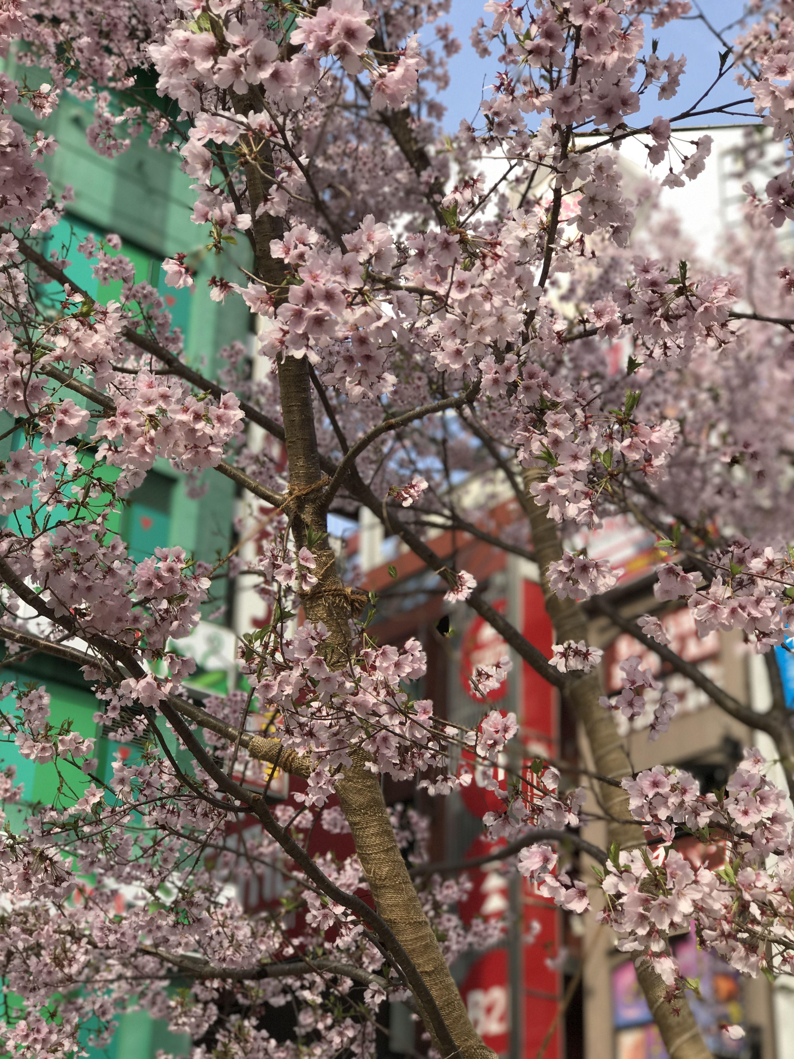 sakura in front of flagship