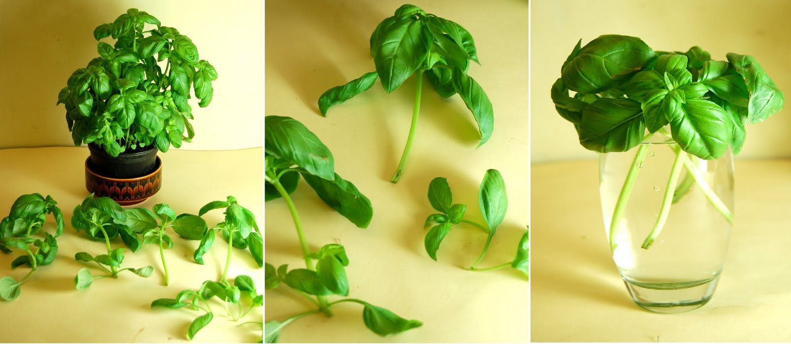 I Never Have Much Luck Growing Basil From Seed Or Keeping Plants Bought Supermarkets