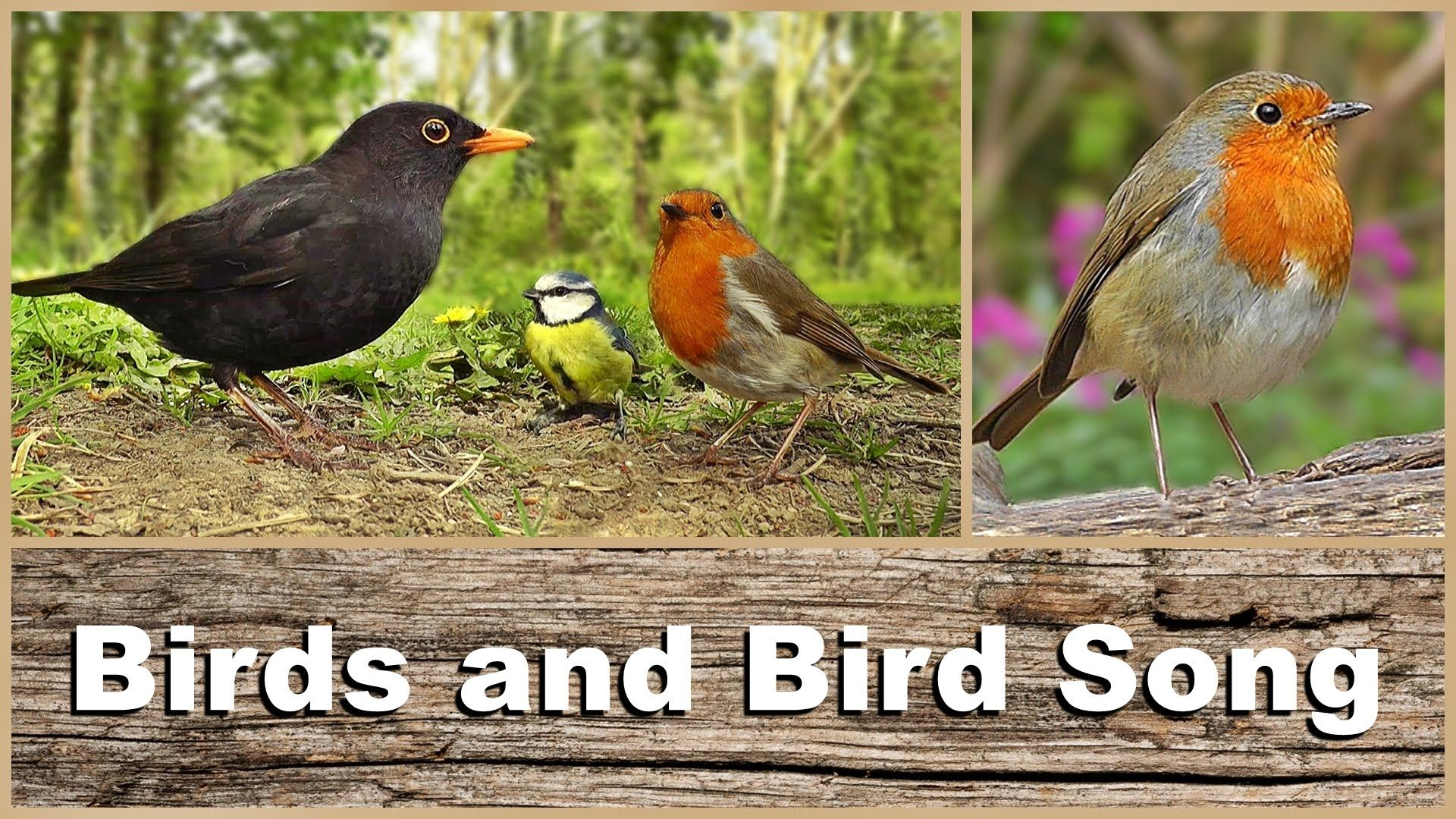 Birds, Bird Song and Sounds Woodland (mit Bildern)