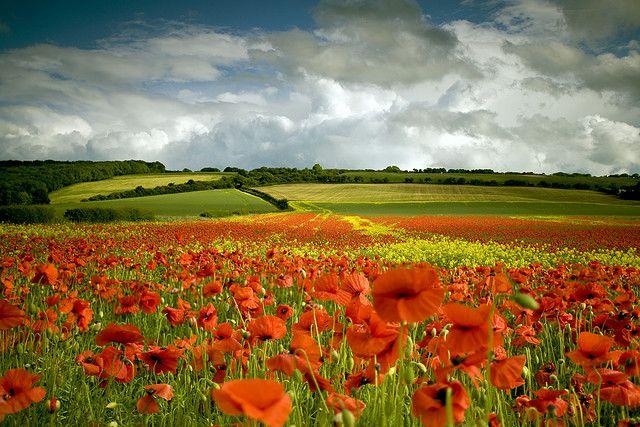 Scottish poppy field: stunning!