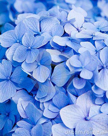 Blue Hydrangea Flower Blue Hydrangea Flowers Blue Flowers Background Hydrangea Flower