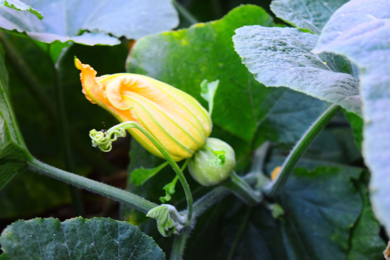 Our Kitchen Garden Pumpkin Flower From Our Kitchen Garden Farm Cooking With Chef