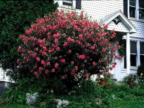 Double Red Hibiscus Gardening Ideas Hibiscus Tree Growing