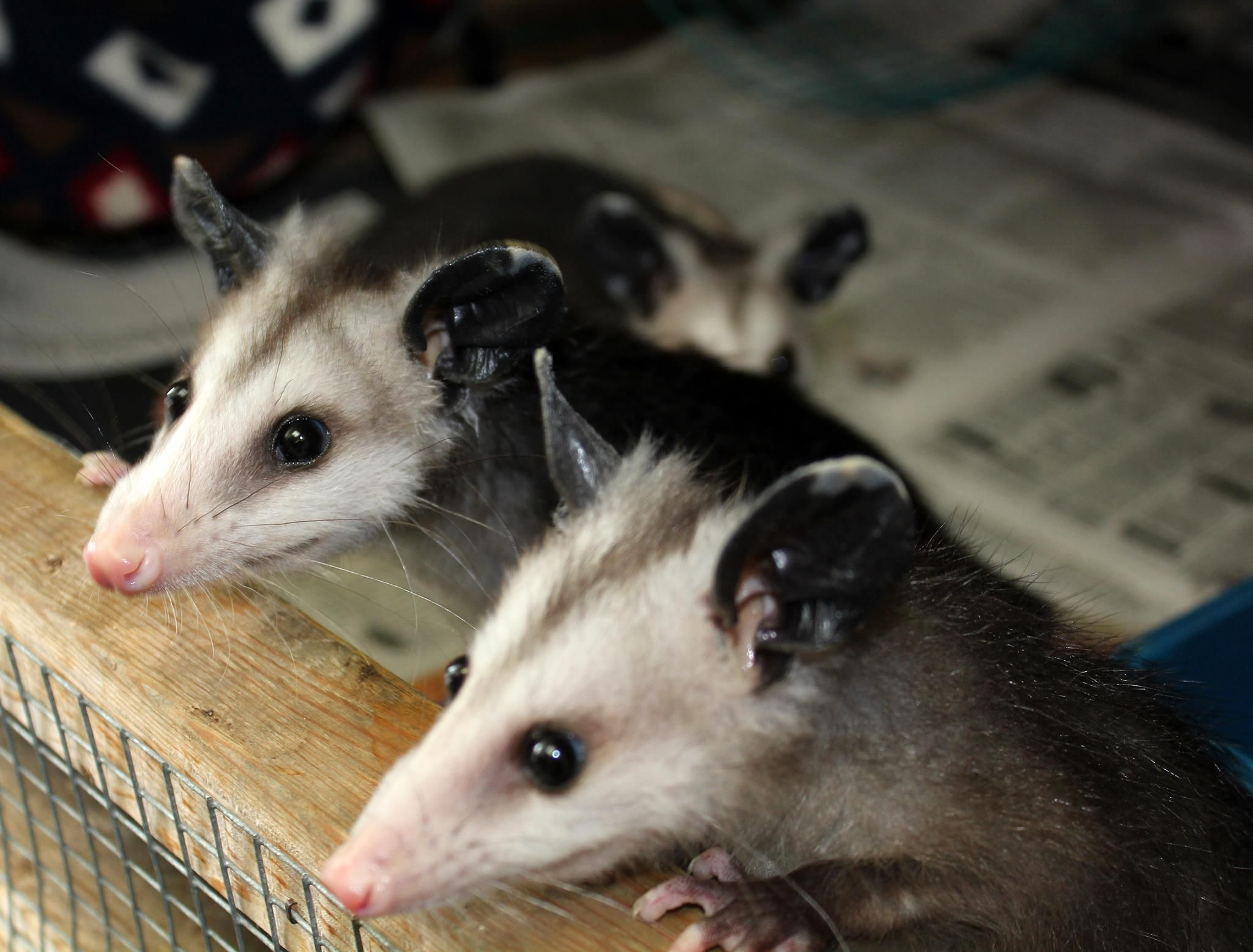 52 best oh opossum images on pinterest animals skunks and